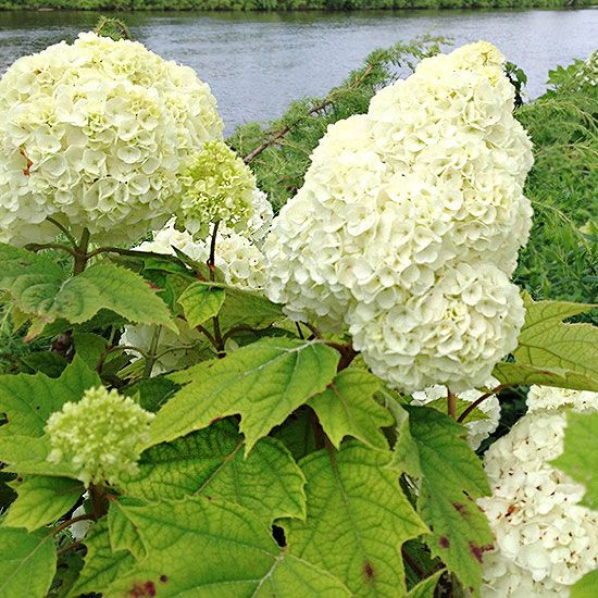 17 Best images about Heavenly White Hydrangeas - BHG on Pinterest | Trees, Hydrangeas and Halo