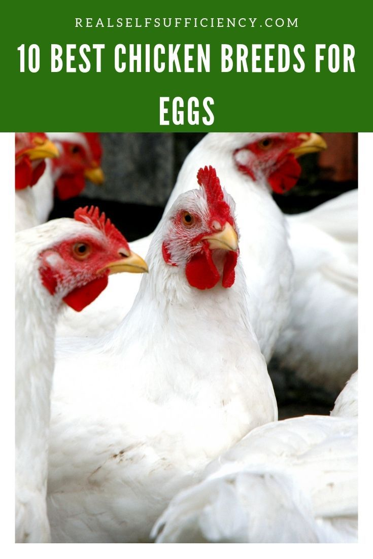 10 Best Chicken Breeds for Eggs - up to 300 Per Year, Per ...