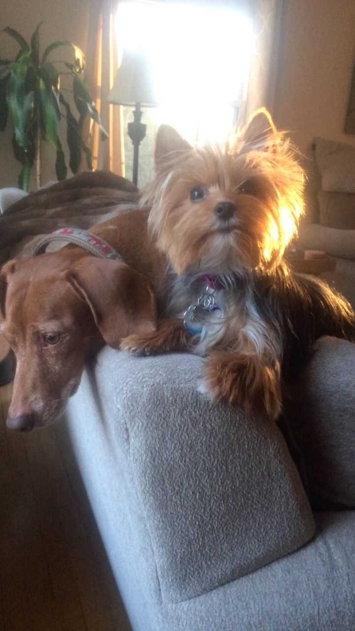 Pin By Linda Brown On Cute Puppies Yorkshire Terrier Yorkshire