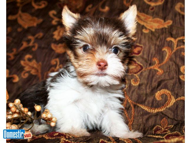 Akc Yorkie Puppies Available Multiple Puppies From Different Litters To Pick From Traditional Black Tan Parti And Chocolate P Yorkie Puppy Yorkie Puppies