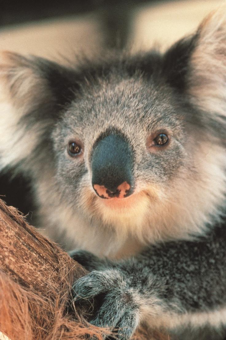 Melbourne  Victoria - Die australische Tierwelt ist ein wahre Fundgrube für Fotografen http://www.reisegezwitscher.de/reisetipps-footer/1853-melbourne-victoria