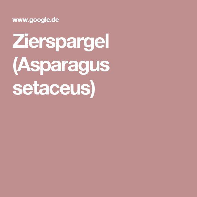 Zierspargel (Asparagus setaceus)