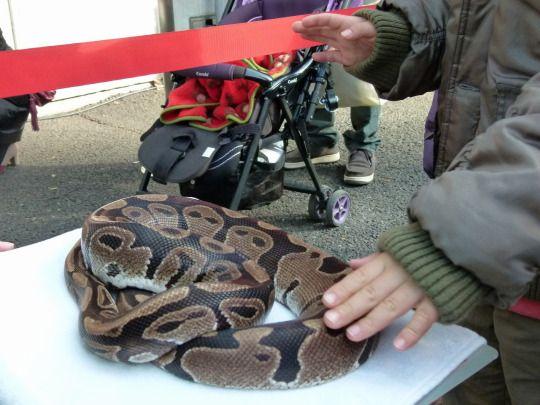 上野動物園のボールニシキヘビ