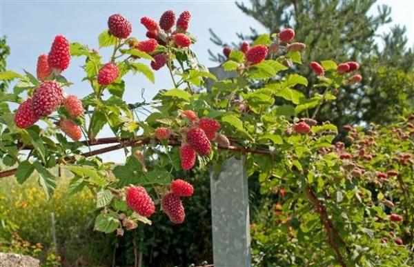 Como plantar framboesa. A framboesa é uma deliciosa fruta vermelha. O sabor dessa fruta é conhecida ao longo de todo o mundo, mesmo tendo a sua origem em países do hemisfério norte, com clima subtropical. A framboesa é o fru...