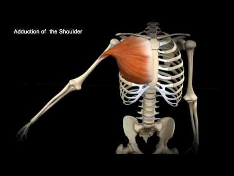 Anatomy of the Pelvis - for Artists - YouTube