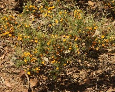 Pultenaea largiflorens (Twiggy bush-pea)