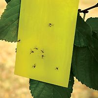 Calculating Flying Insect Biodiversity Using Simpson's Diversity Index | Carolina.com