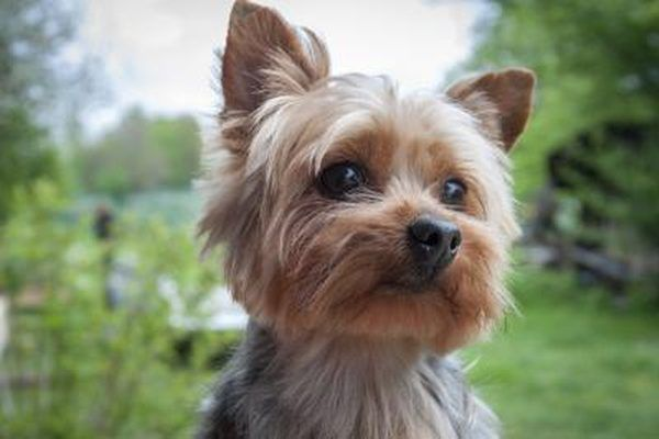 Close-up of Yorkshire Terrier