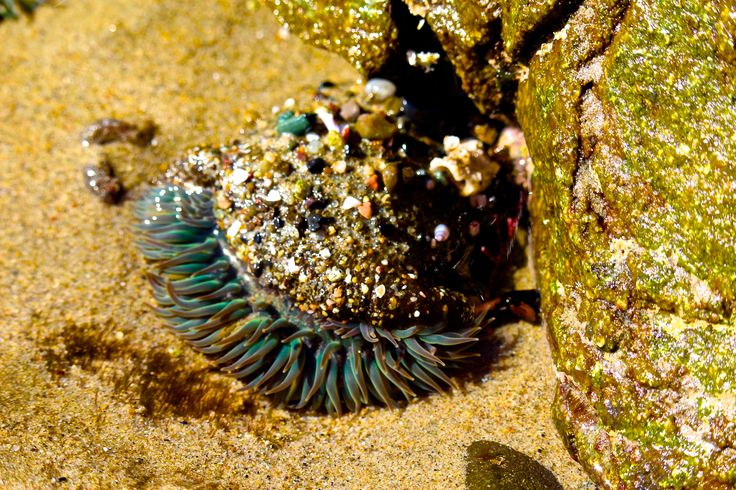 california sea anemone!