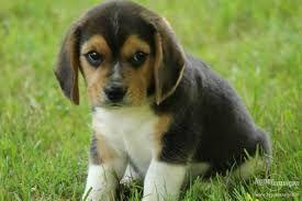 die besten 17 ideen zu beagle welpen auf pinterest hunde und welpen beagles und niedliche hunde. Black Bedroom Furniture Sets. Home Design Ideas