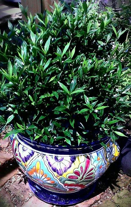 how to grow a gardenia bush