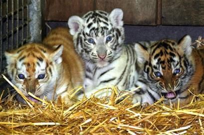 Baby White Tigers | Follow the Piper: Bengal Tigers