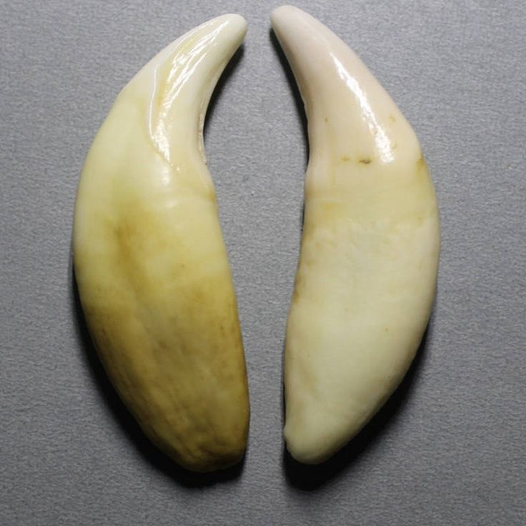 TBP5852 Tibet Big Fang Amulet for Man Tibetan Big Tooth 50mm to 55mm Mastiff