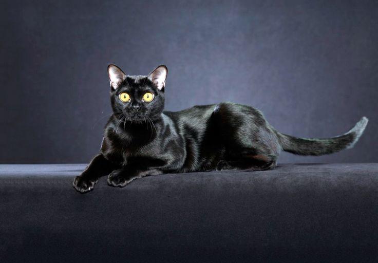 Мини пантера с соответствующей хищной пластикой движений и взглядом, в котором сквозит вселенская мудрость – так выглядит бомбейская кошка. Только им присущие особенности внешнего вида подкупают таинственностью и необычностью.