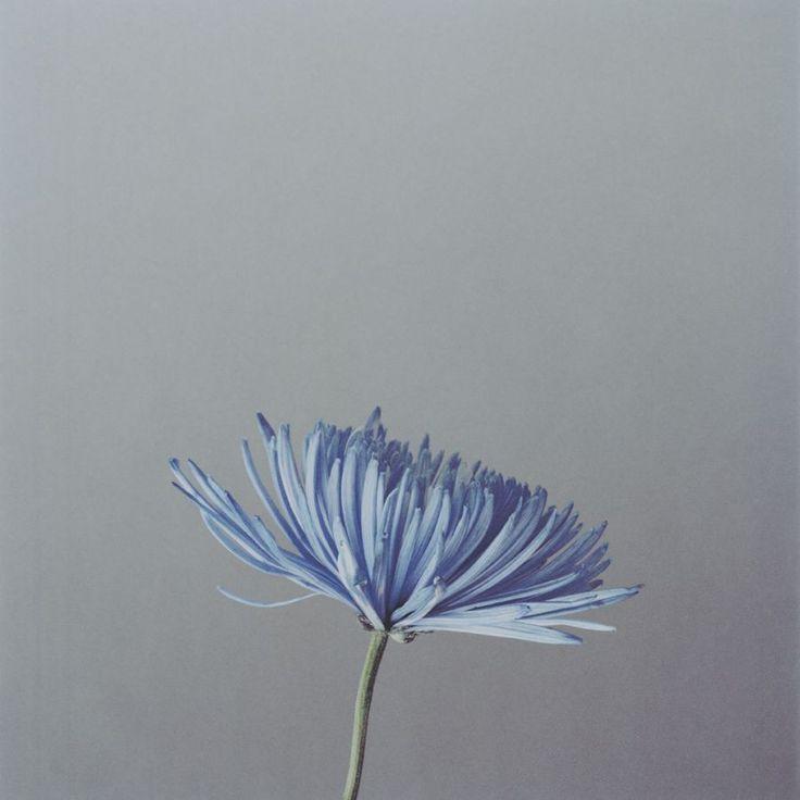 """Naho KUBOTA ,  """"Blue flower"""",2009, Tirage Lambda satiné, 30 x 30 cm, Édition de 50"""
