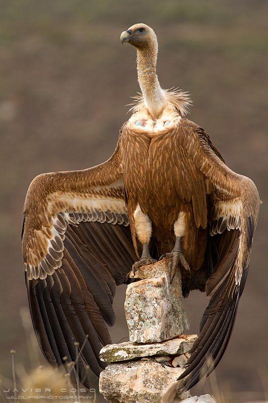 Vulture // En Majesté !