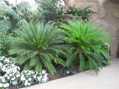 Cycas revoluta - Palmier, Agave, Aloe, Yucca, Phormium, plantes exotiques- Pépinières Morbihan - Les Pépinières Eric Duval à MOLAC