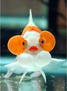 Bubble Eye Fish