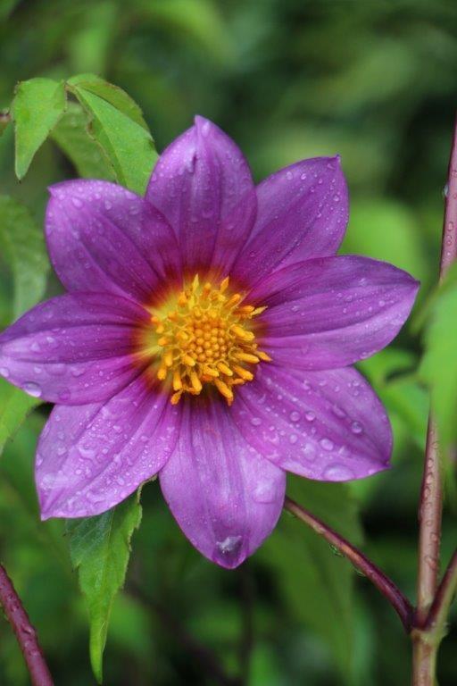 9 best dwarf flowering trees images on pinterest for Dwarf flowering trees