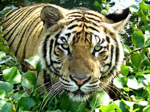 the now extinct javan tiger