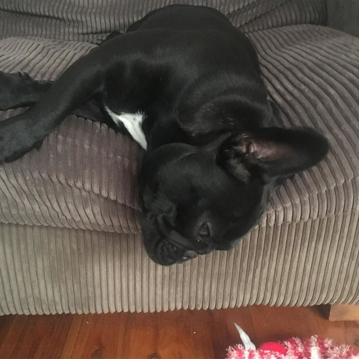 When you're trying to figure out what the humans hangover feels like ! #sofahangover #sundayfunday  #frenchie #frenchieoftheday #französischebulldogge #franskbulldog #frenchbull #fransebulldog #frenchbulldog #frenchiepuppy #bondi #dogsofinstagram #petstagram #puppy #puppylove #bully #bulldog #bullyinstafeature #bulldogfrances #フレンチブルドッグ #フレンチブルドッグ #フレブル #ワンコ #frenchyfanatics #frenchiesgram #frenchbulldogsofinstagram #frenchiesoverload #ilovemyfrenchie #batpig #buhi #squishyfacecrewbulldog