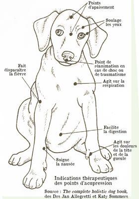 Pratiquer l'acupression pour son chien - Ostéopathie et acupression pour chien - Wamiz