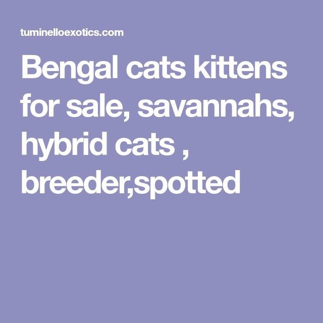 Bengal cats kittens for sale, savannahs, hybrid cats , breeder,spotted