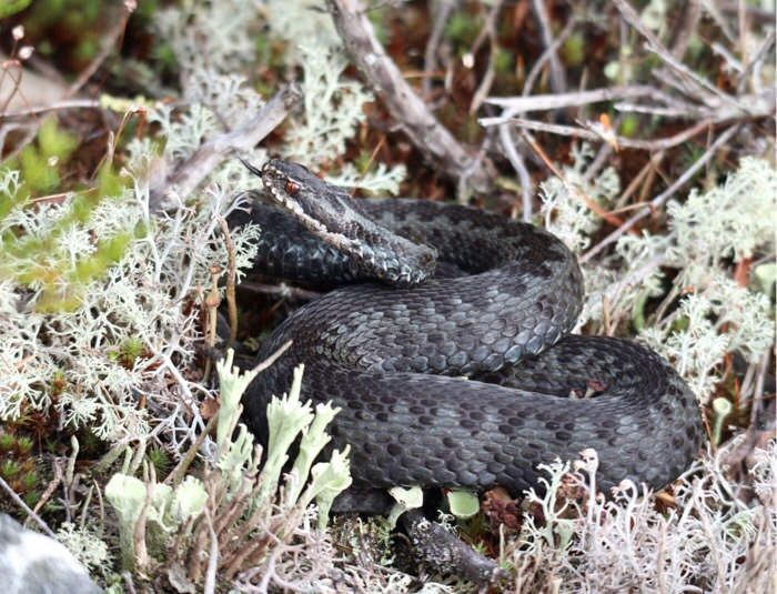 Kyy, käärme / Adder, snake