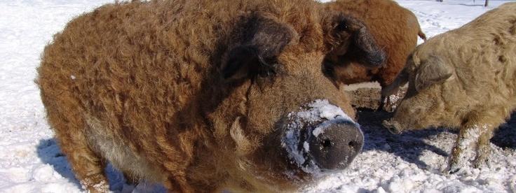 Het zeldzame mangalica varken is begonnen aan een gestage opmars in de culinaire wereld.