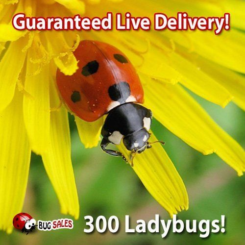 300 Live Ladybugs - Good Bugs - Ladybugs - Guaranteed Live Delivery! by Bug Sales. $3.50. 300 Live Ladybugs, Pre Fed!!. We Guarantee Live Delivery!. Ladybugs are good bugs great for kids, birthday parties, school projects!. Ladybugs are general predators that feed on a variety of slow-moving insects including Aphids, Moth eggs, Mites, Scales, Thrips, Leaf Hoppers, Mealybugs, Chinch Bugs, Asparagus Beetle larvae, Whitefly and others. 300 ladybugs covers aprox. a small yard or ...