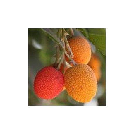 Arbutus unedo, graines d'ARBOUSIER ou ARBRE A FRAISE à faire pousser. plante qui produit des fruits appelé arbres aux fraises à cultiver au jardin. #arbousier #arbutus #fruits #fraise