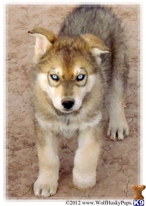 Wolf Husky Hybrid Puppies (****I'm posting this bc I do not condone these breeding.)