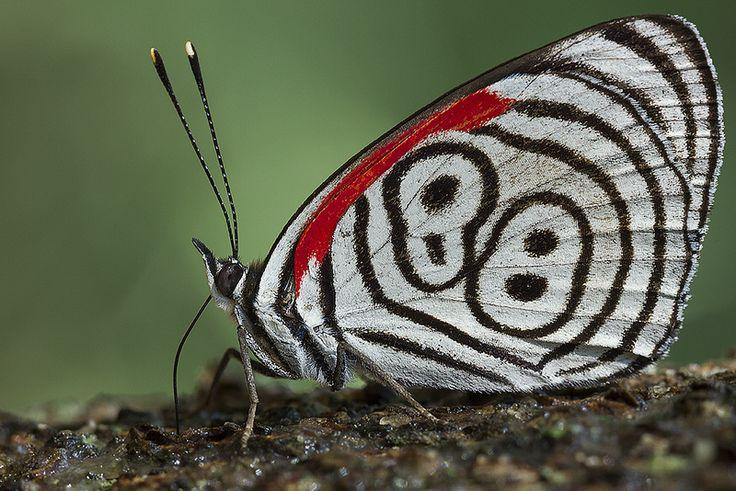 Diaethria eluina (Nymphalidae) | por José Roberto Peruca