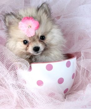 Teacup Pomeranian Puppies | Teacup Pomeranian Puppies For Sale
