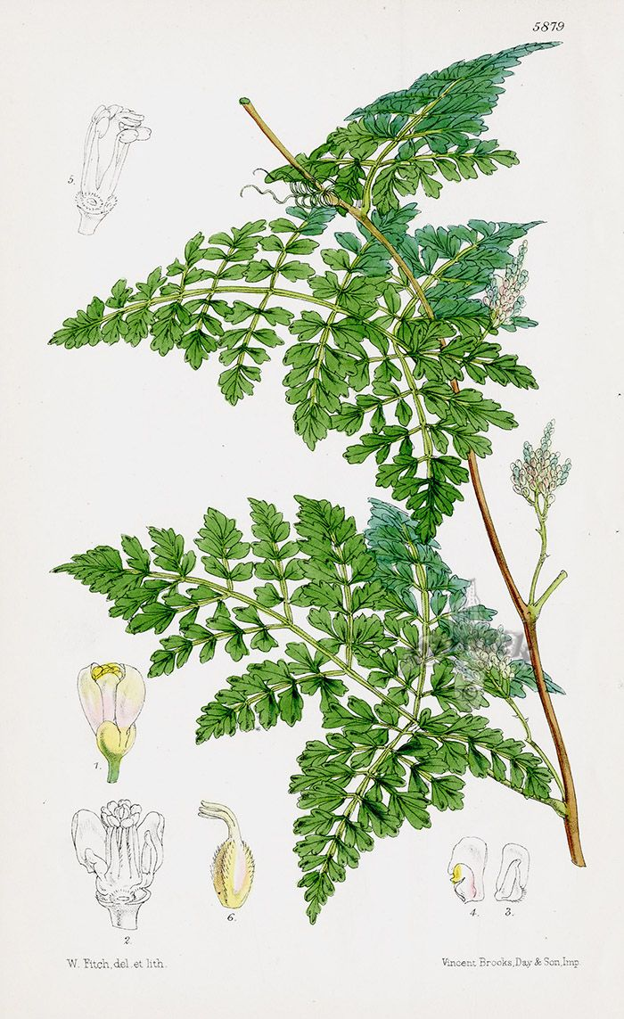 c4b3ed2191d0 Paullinia from Tropical botanical lithographs from the Fitch Curtis Years