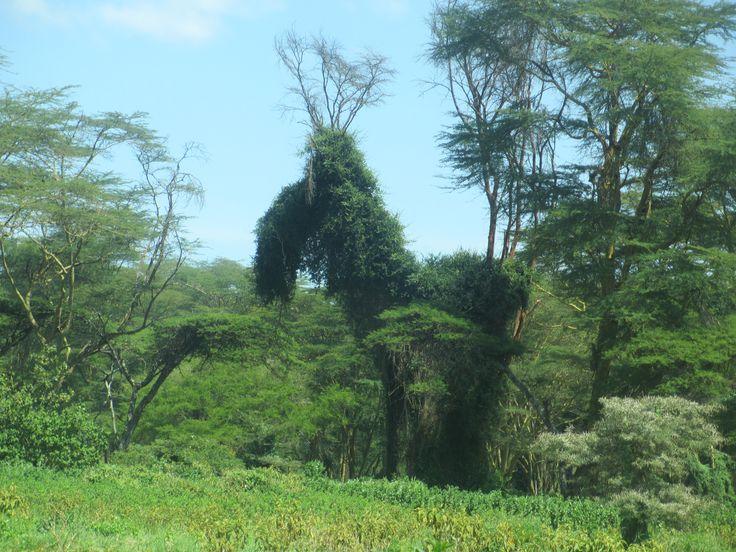 A moose!? In Kenya?!