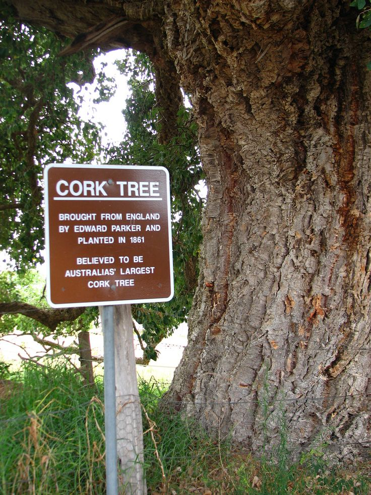 Tenterfield's giant cork tree aign - Tenterfield, NSW, Autralia