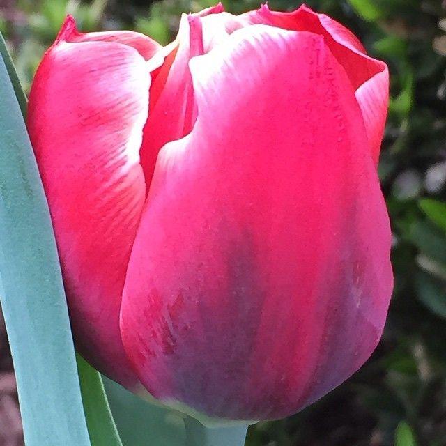 Tulip #nofilter