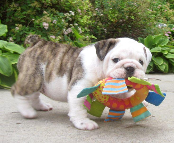 #Bulldog pup