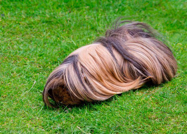 Peruvian Guinea Pig Care - Caring For A Long Haired Guinea Pig