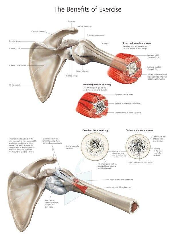 137 besten Anatomy illustrations Bilder auf Pinterest   Anatomie ...