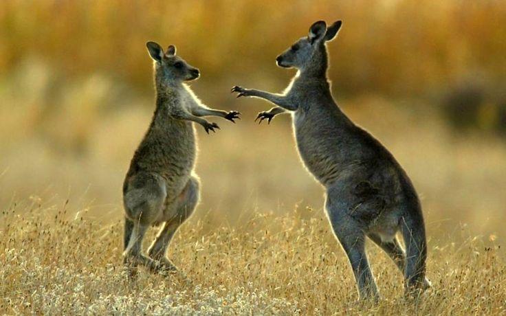 Kangaroos have three vaginas  Not Exactly Rocket Science