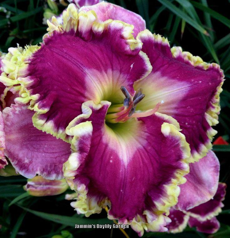 Daylily, Hemerocallis U0027Jamminu0027s Mayberryu0027 (Singletary, ...