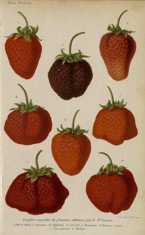 SNHF   Variétés nouvelles de fraisiers obtenues par le Dr Nicaise