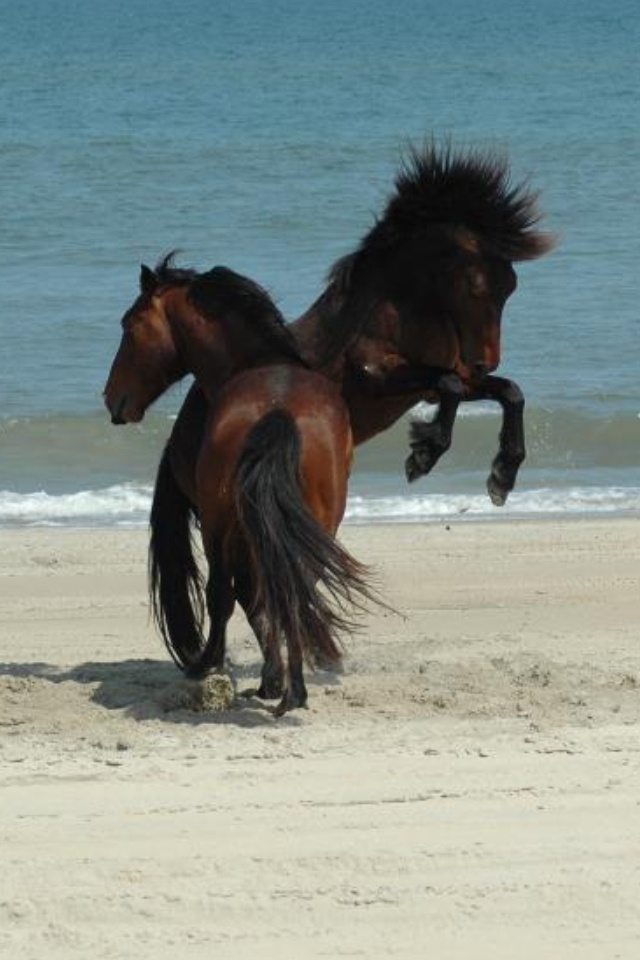Wild Horses on the beach in outer banks North Carolina