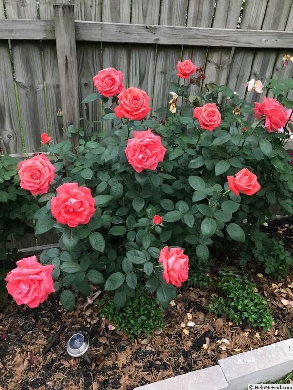 Tropicana Rose Photo Rose Photos Garden Flower Beds Perennial Border Plants