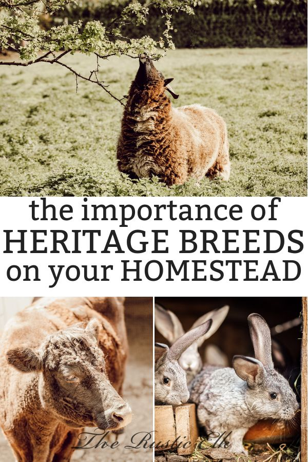 The Importance of Heritage Breeds on the HomesteadCloser To The Land