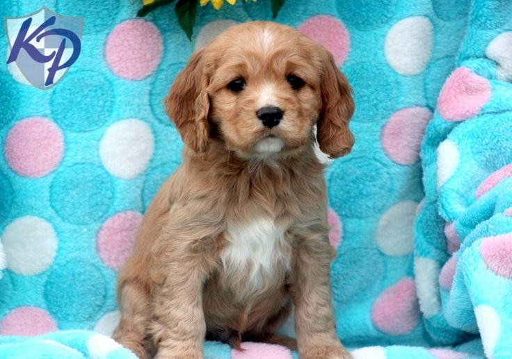 James Cocker Spaniel Mix Puppies for Sale in PA