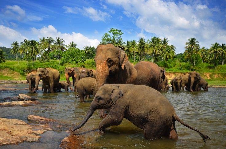 Pinnawala Elephant Orphanage near Colombo, Sri Lanka. #travel