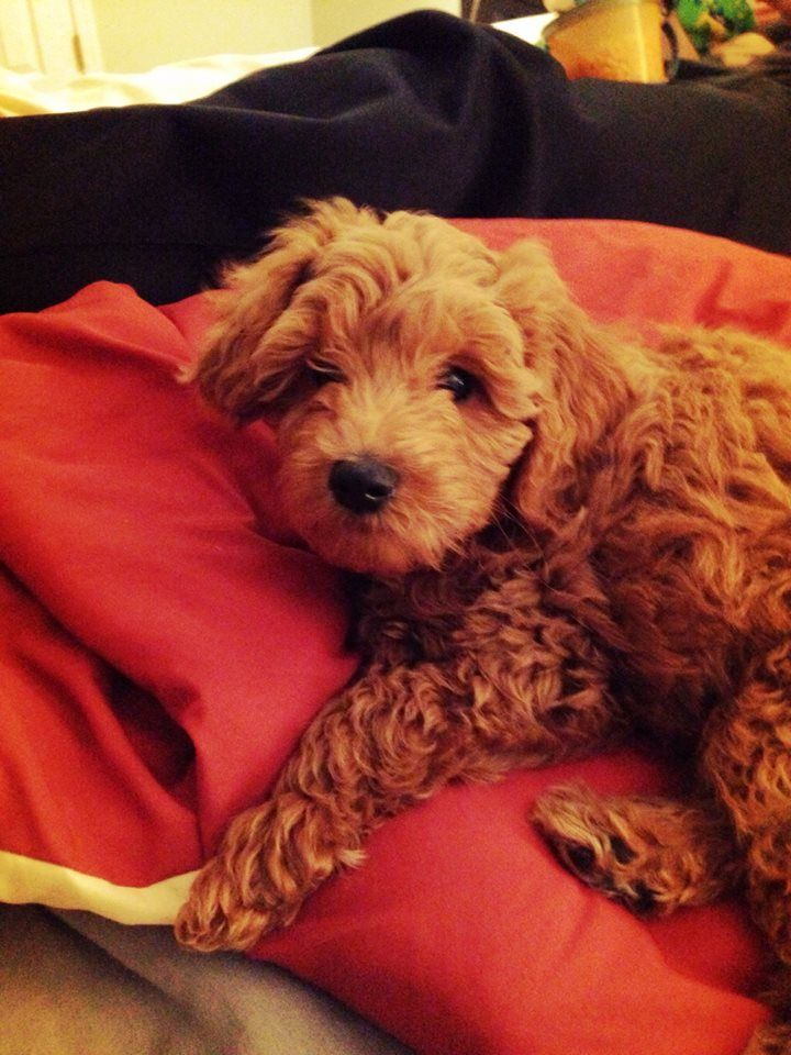 Nike, a few months old.  Red Goldendoodle Puppy.  Adopted from River Valley Doodles.